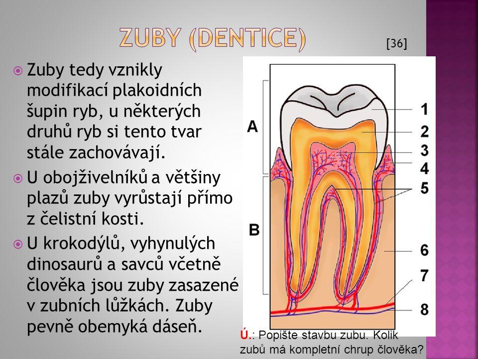 Zuby (dentice) [36] Zuby tedy vznikly modifikací plakoidních šupin ryb, u některých druhů ryb si tento tvar stále zachovávají.